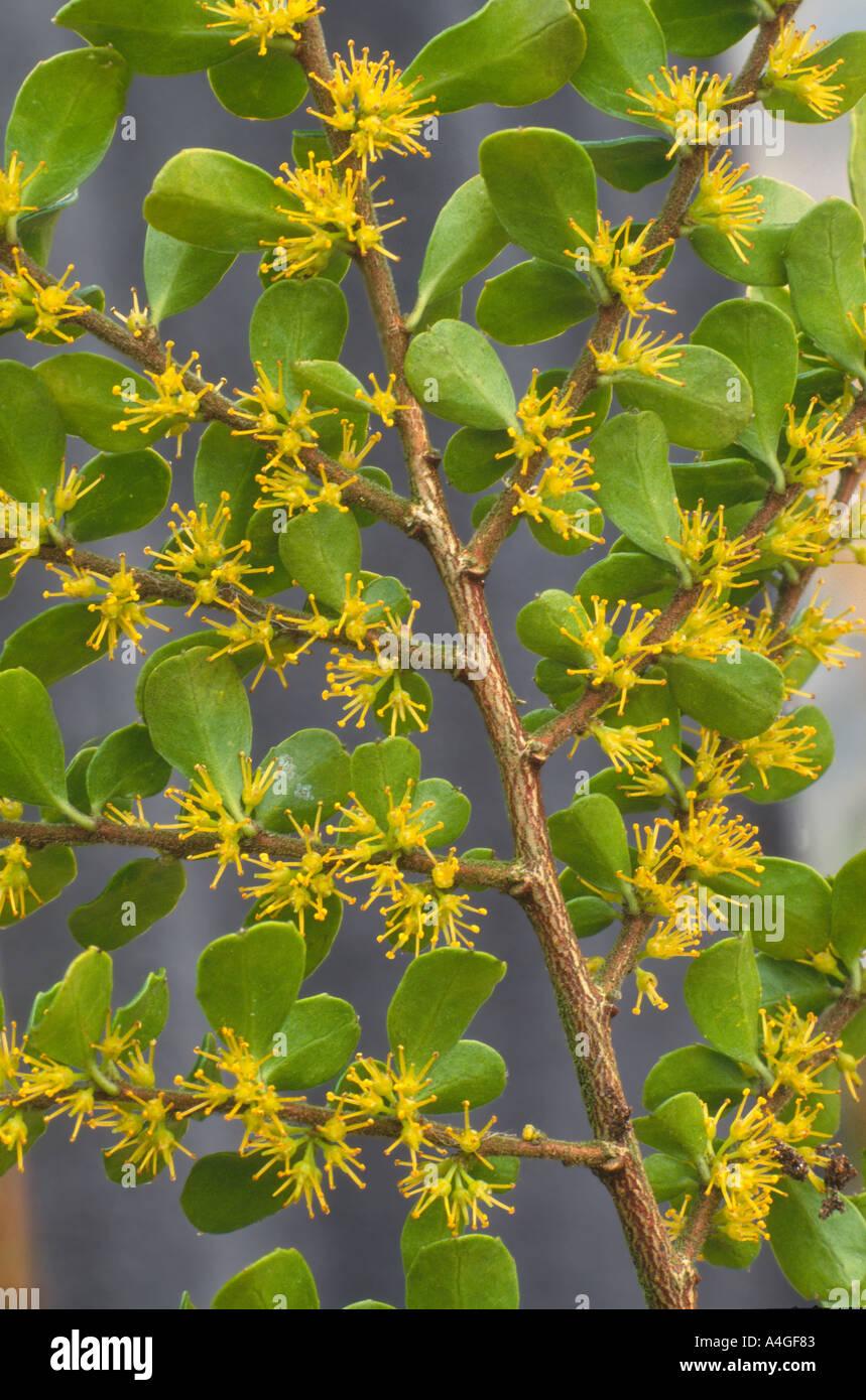 Azara Microphylla Agm Evergreen Shrub Stock Photos Azara