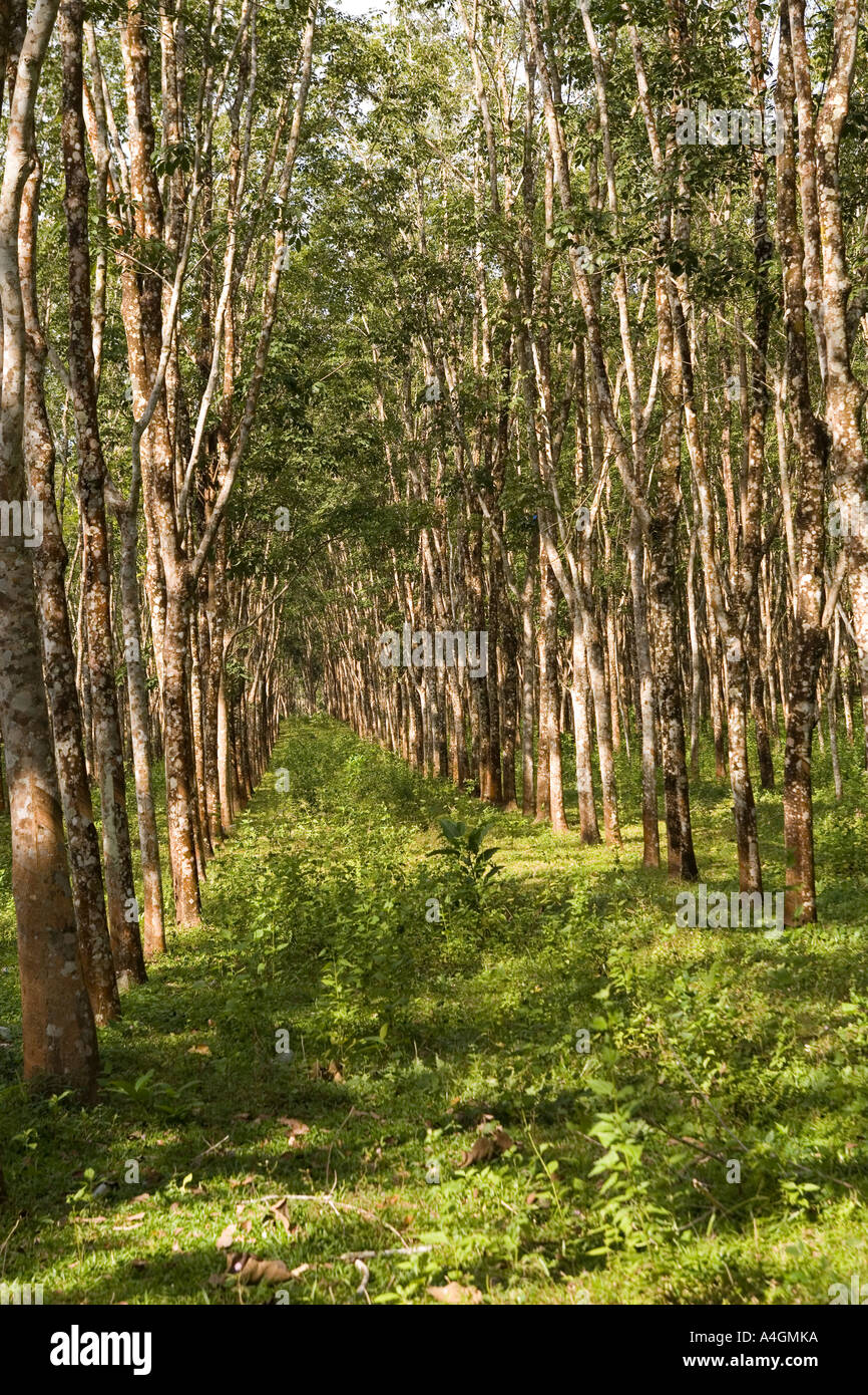 Rubber Tree Plantation Malaysia Stock Photos Amp Rubber Tree