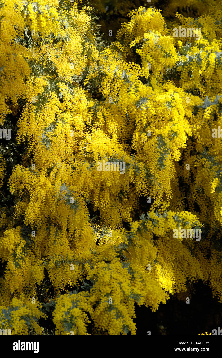 Wattle Tree Stock Photos & Wattle Tree Stock Images - Page 2