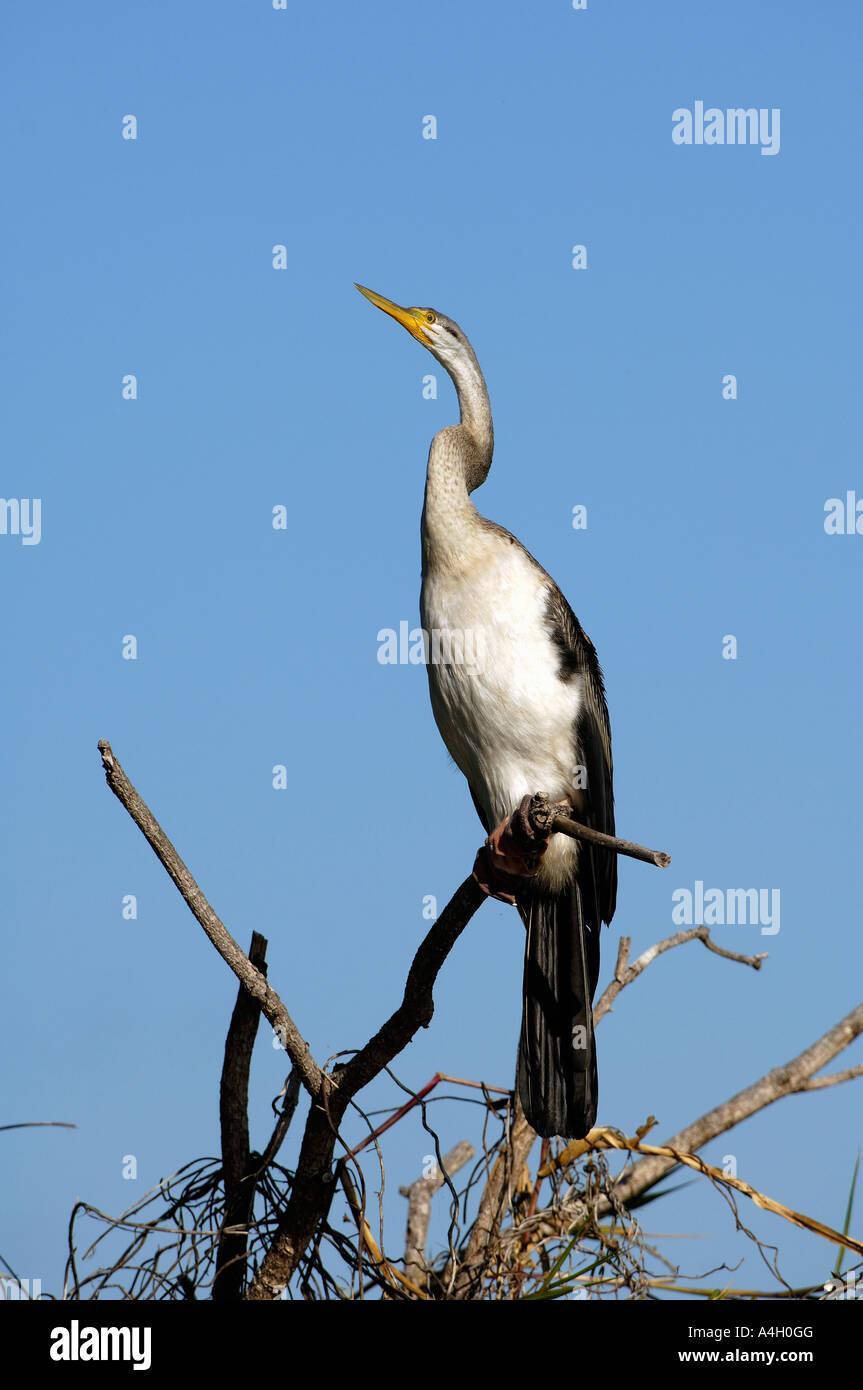 Darter (Anhinga melanogaster), Kakadua NP, Northern Territory, Australia - Stock Image