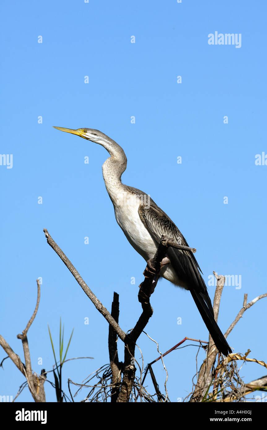 Darter (Anhinga melanogaster), Kakadu NP, Northern Territory, Australia - Stock Image