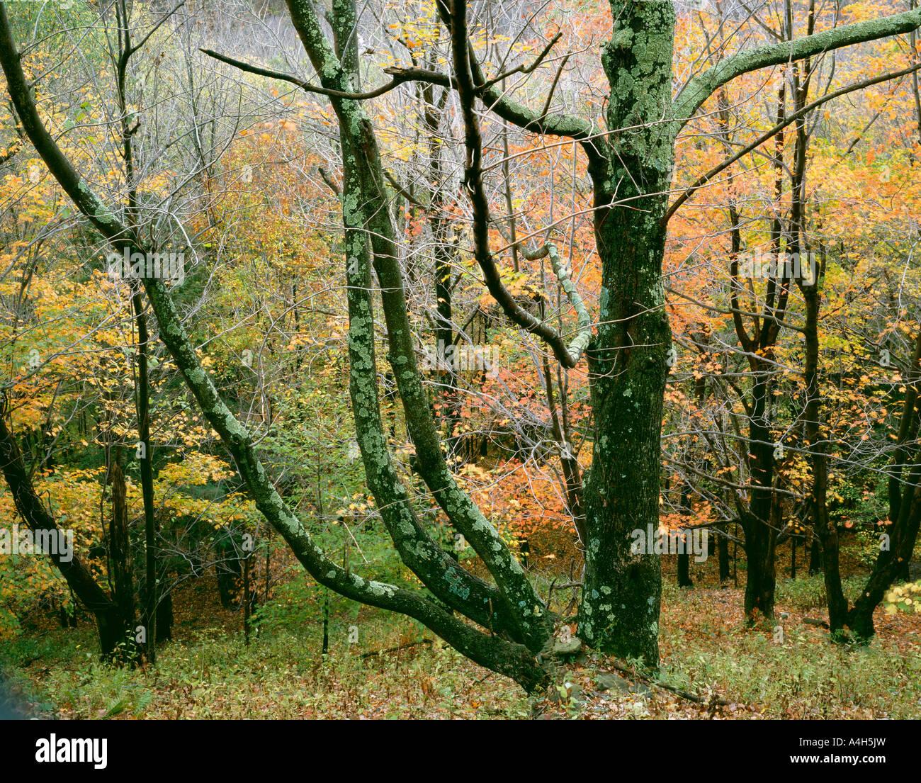White Ash, World'S End State Park, Pennsylvania, Usa Stock