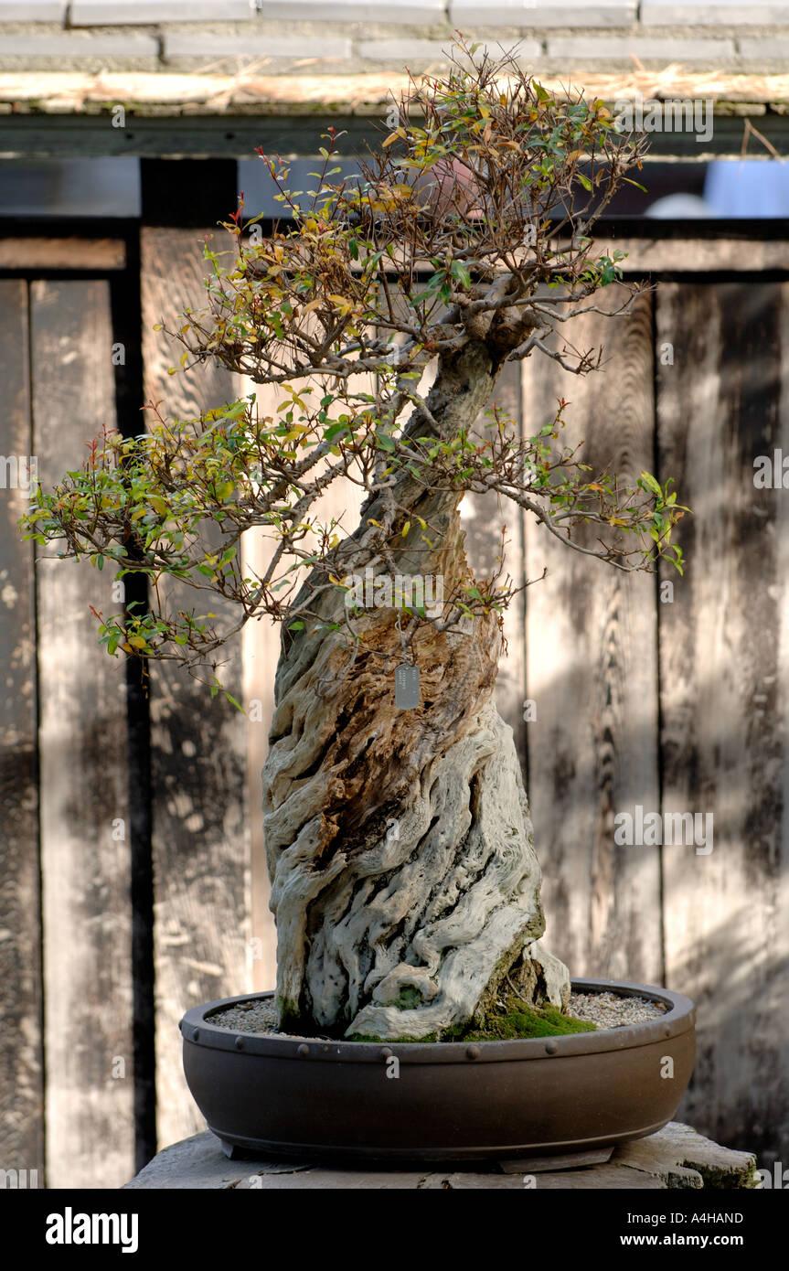 Dwarf Pomegranate Bonsai Tree Bonsai Tree