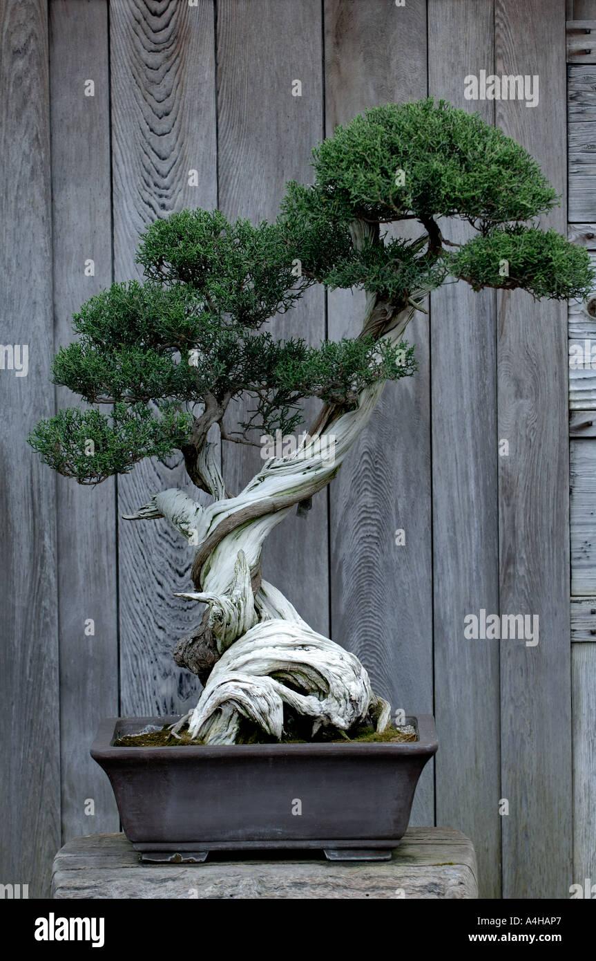 California Juniper Bonsai Tree At The Huntington Library San Stock Photo Alamy