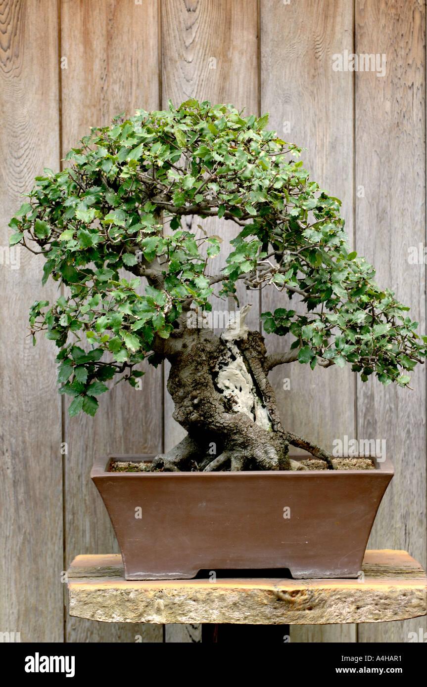 Coast Live Oak Bonsai Tree Designed By John Naka At The Huntington Stock Photo Alamy