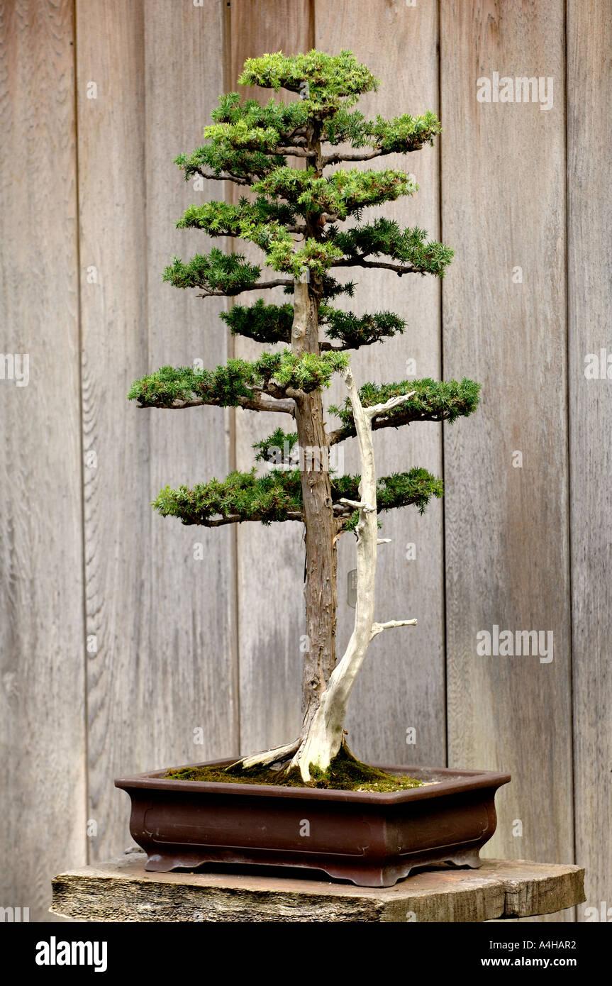 Foemina Juniper Bonsai Tree At The Huntington Library San Marino Stock Photo Alamy