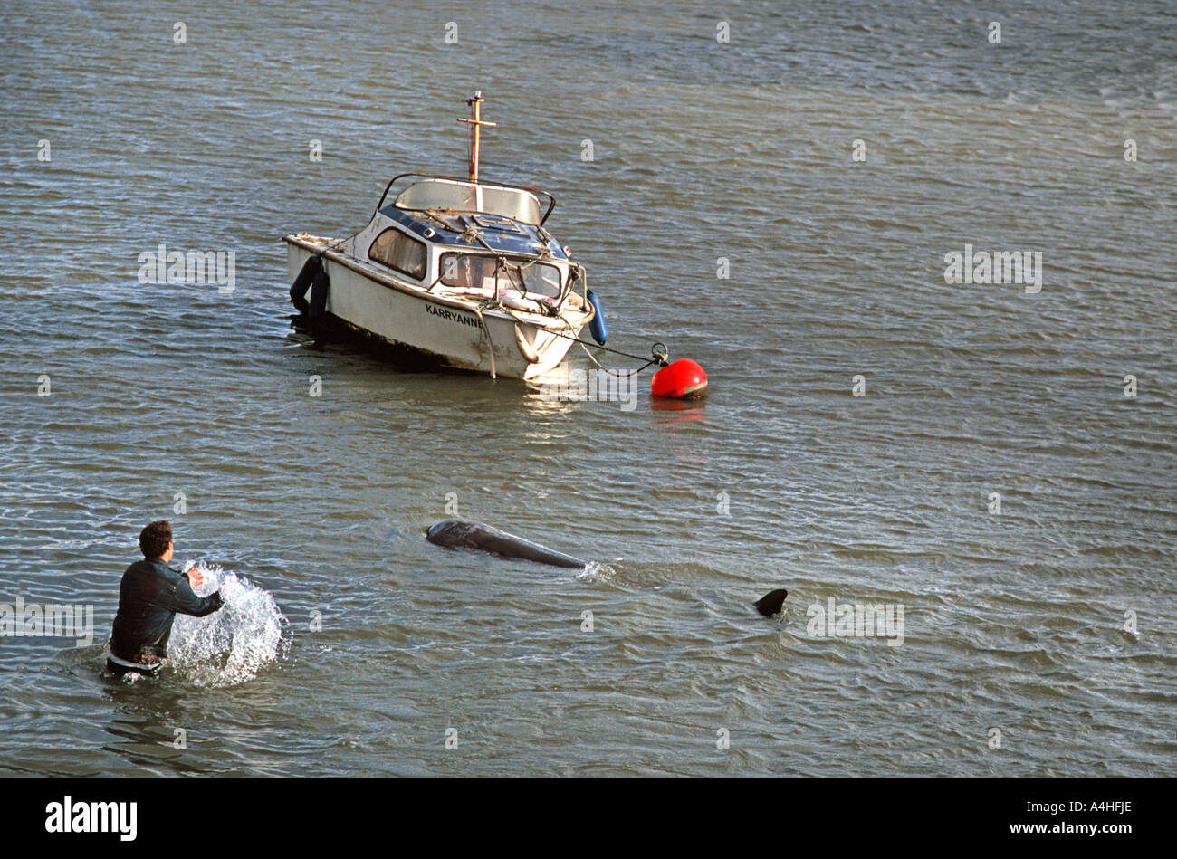 A Northern Bottlenosed whale lost on the River Thames London Next to Albert Bridge Chelsea England United Kingdom Rescue attempt - Stock Image
