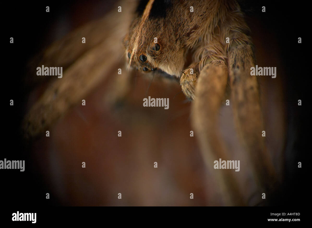 Extreme close up of a hunting wolf spider - Stock Image