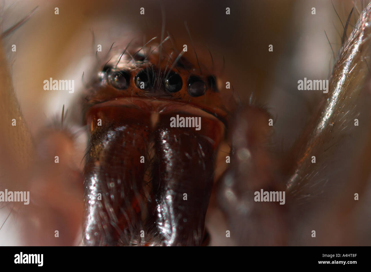 Extreme close up of wolf spiders multiple eyes - Stock Image