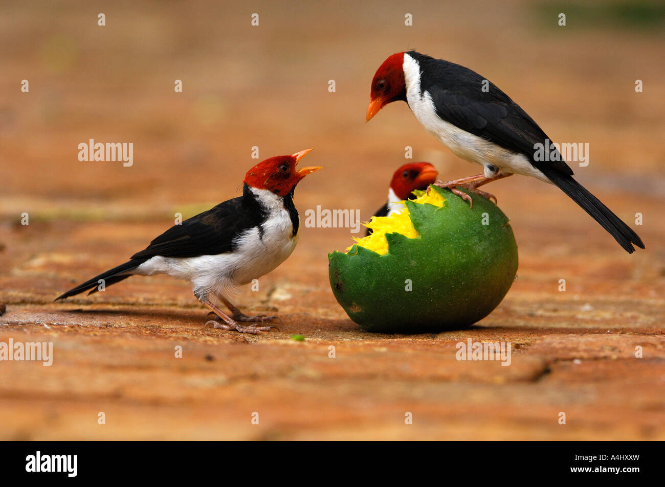 Red-capped Cardinal fighting on mango - Stock Image