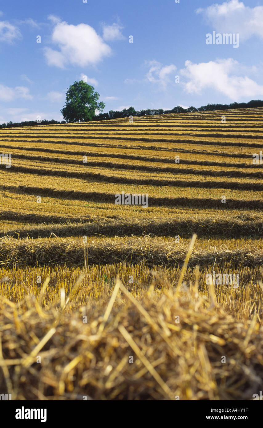 Lines of straw in north Dorset county England UK - Stock Image
