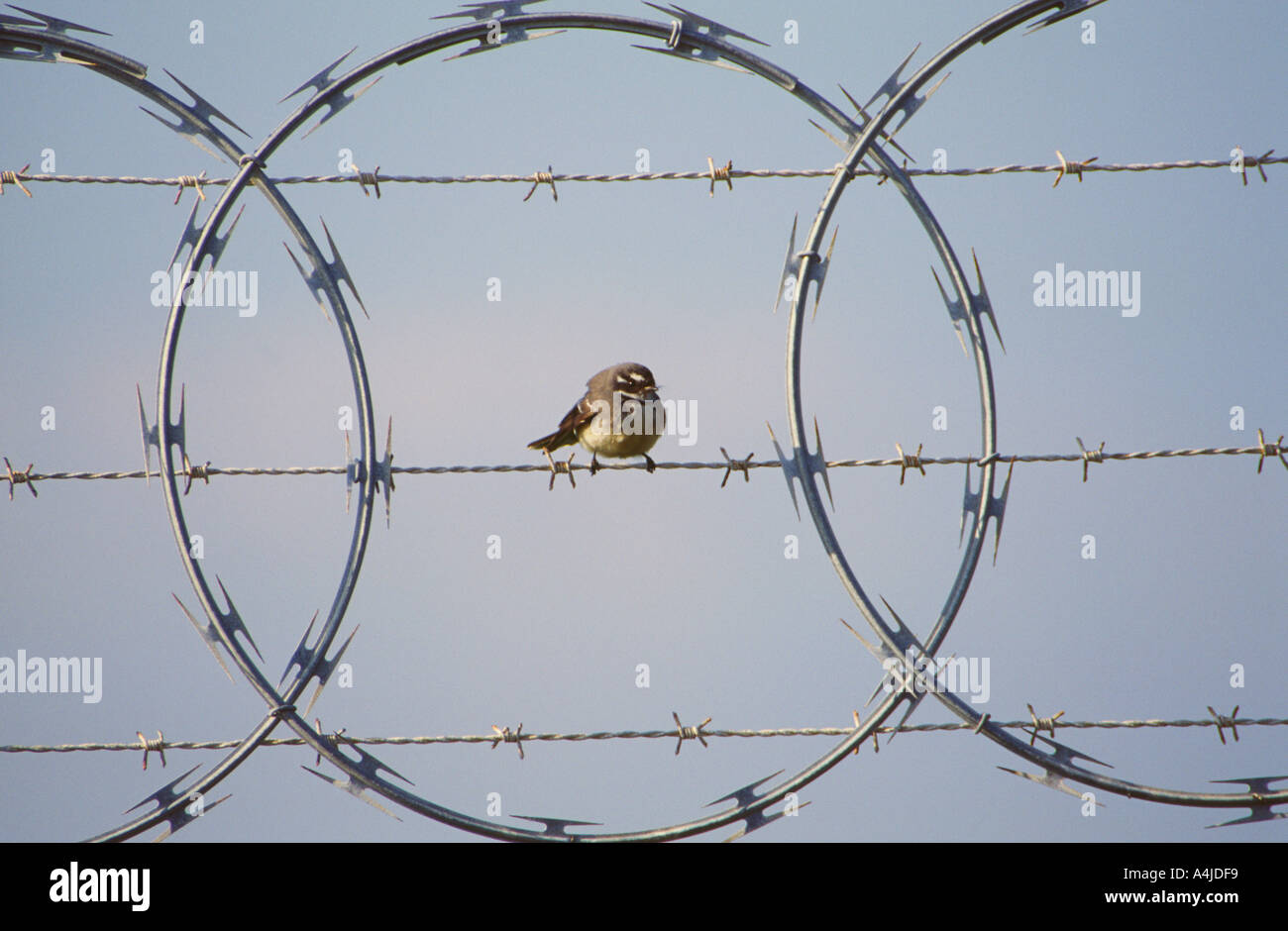 Sitting On Barb Wire Fence Stock Photos & Sitting On Barb Wire Fence ...