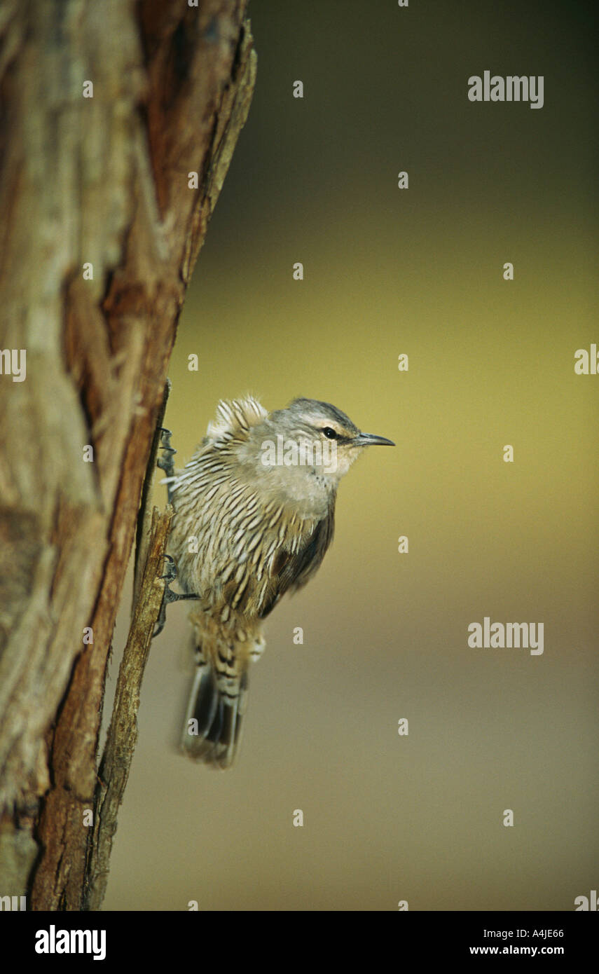 Brown treecreeper Climacteris picumnus Victoria Australia - Stock Image