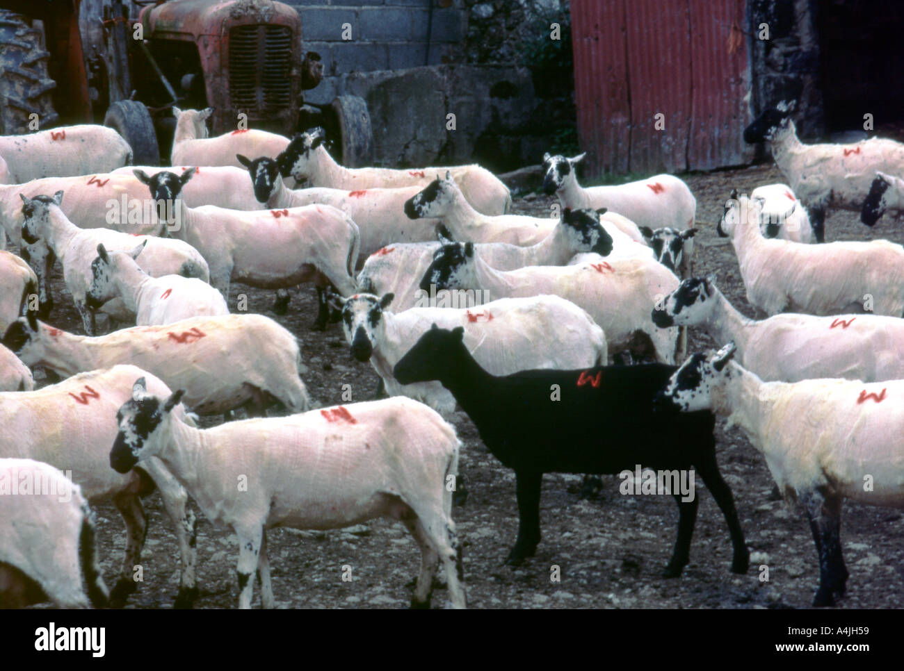 Black sheep standing among white sheep with red branding marks in a farmyard after shearing at a Welsh farm in Carmarthenshire Wales UK - Stock Image