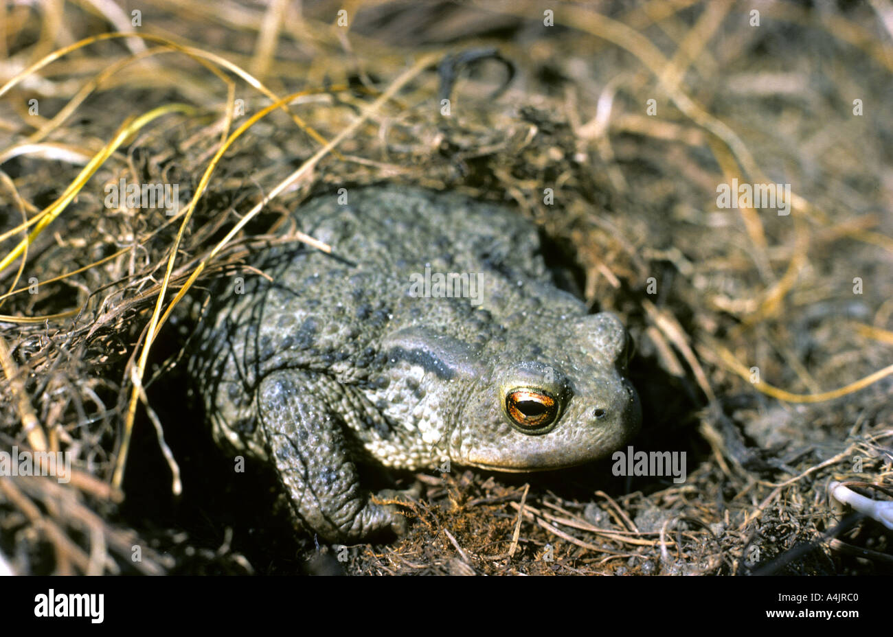 Common Toad (Bufo bufo) emerging from winter hibernation. - Stock Image