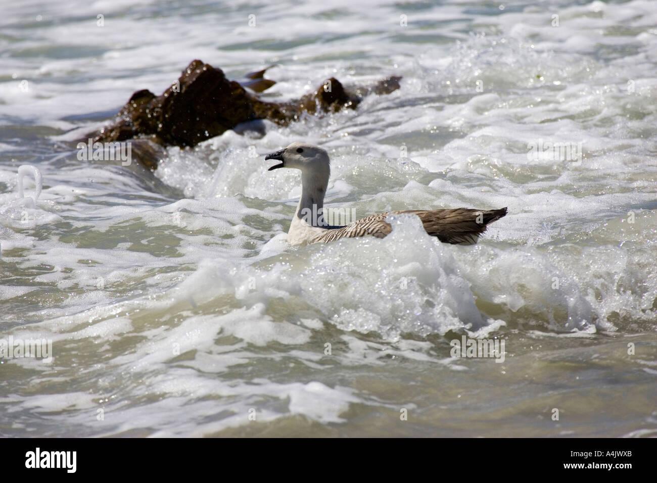 Upland Goose Chloephaga picta male swimming in suff - Stock Image
