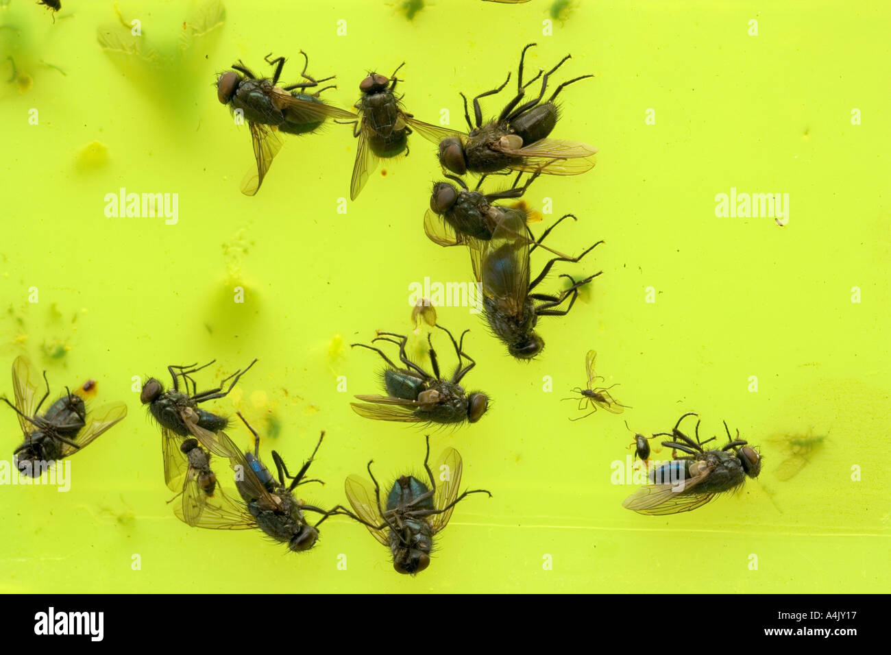 Insect Pests Caught On Sticky Fly Trap Stock Photo