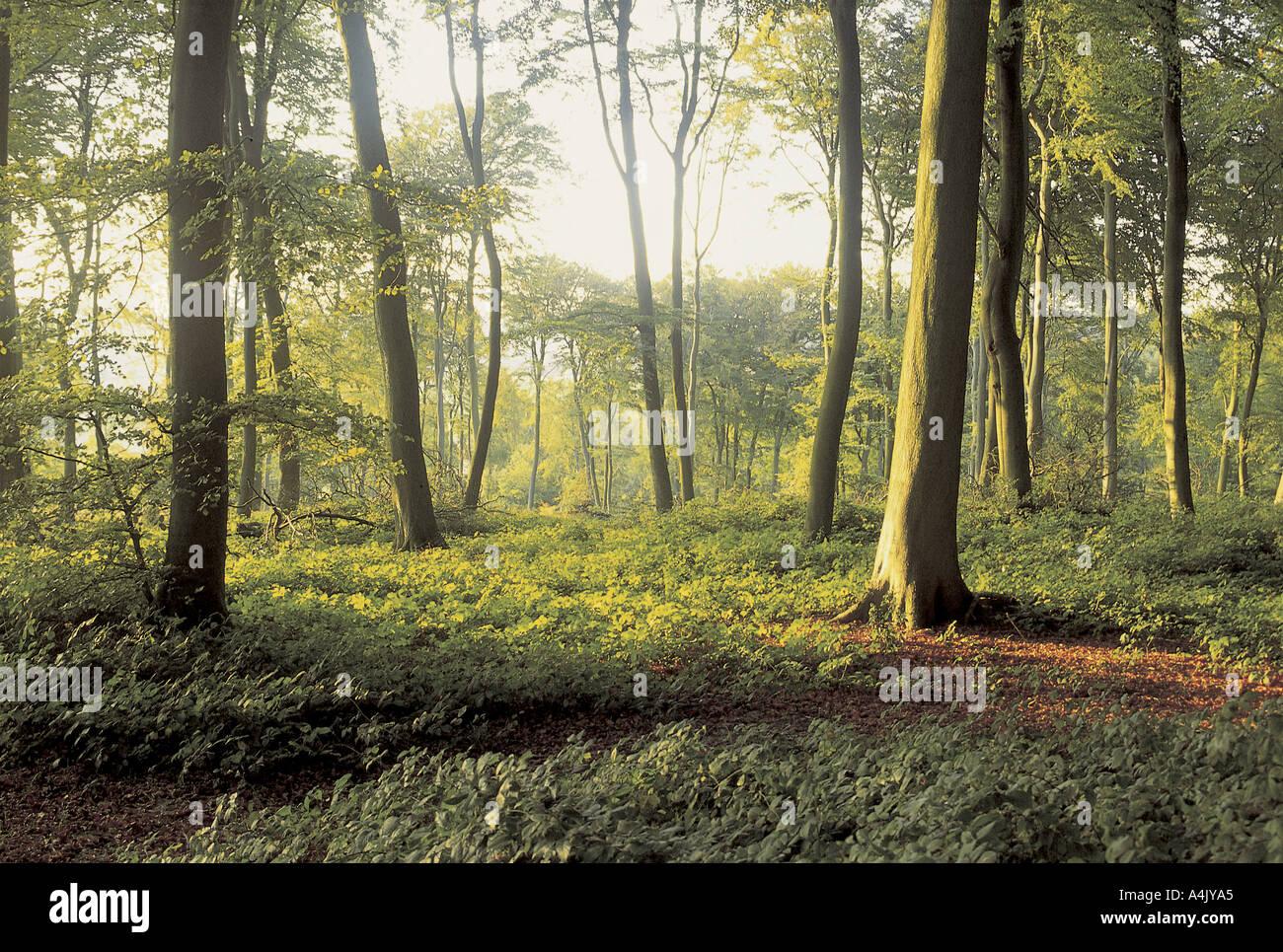 Beech woods near Bradenham - Stock Image