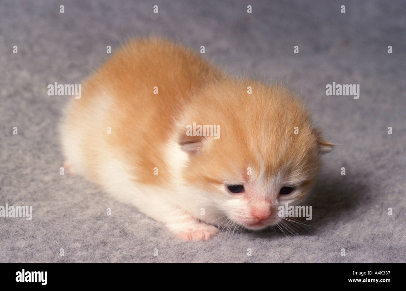 Ginger And White Kitten 2 Weeks Old Stock Photo 2044806 Alamy