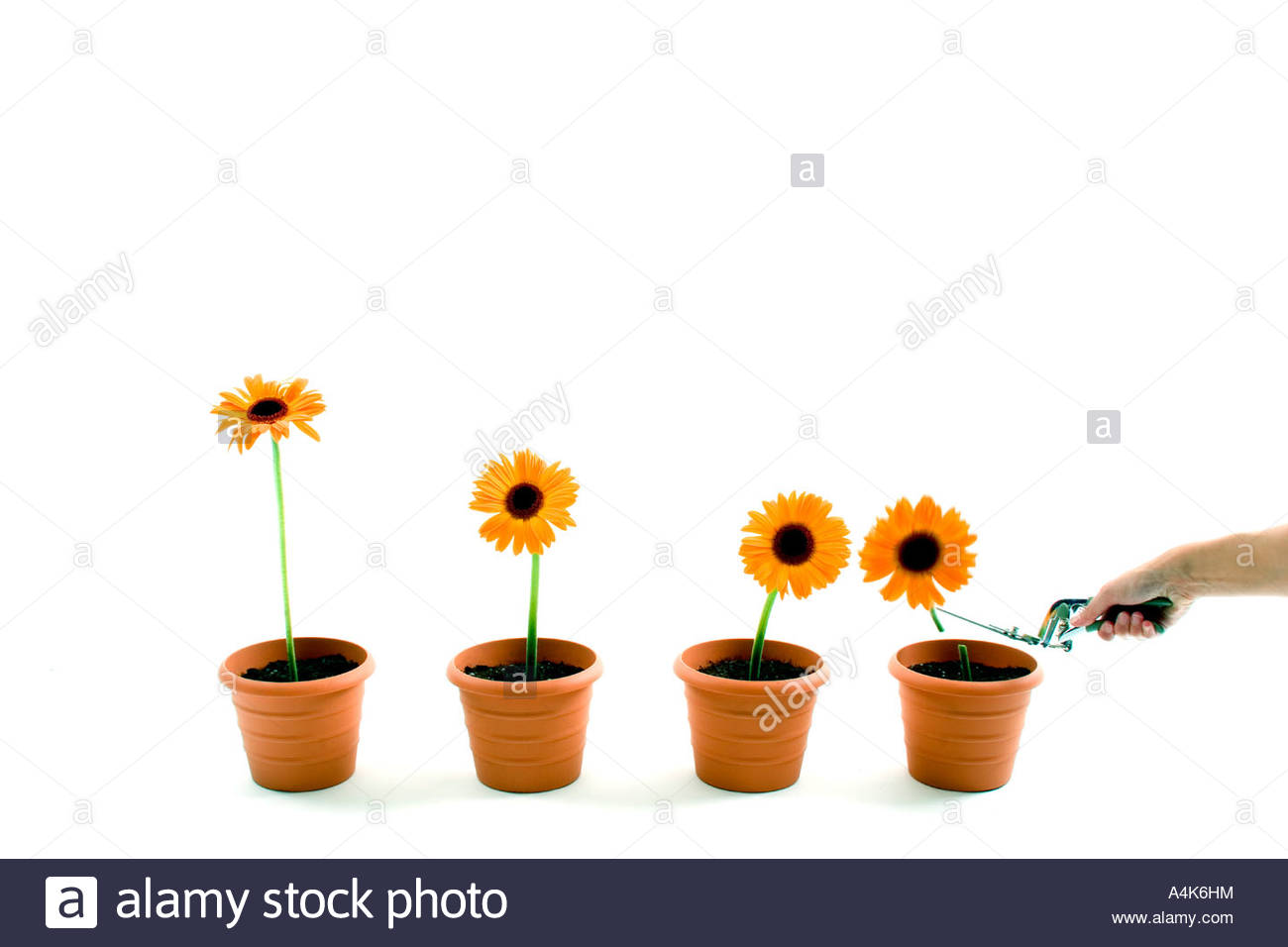 One Flower being Cut with Gardening Shears - Stock Image
