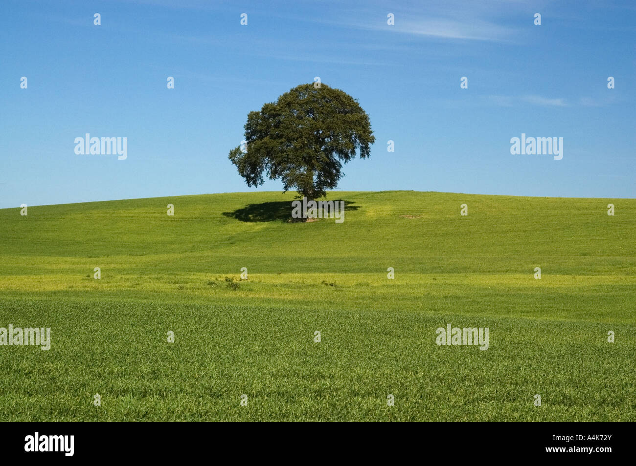 single oak tree ideal as a neutral computer desktop wallpaper A4K72Y