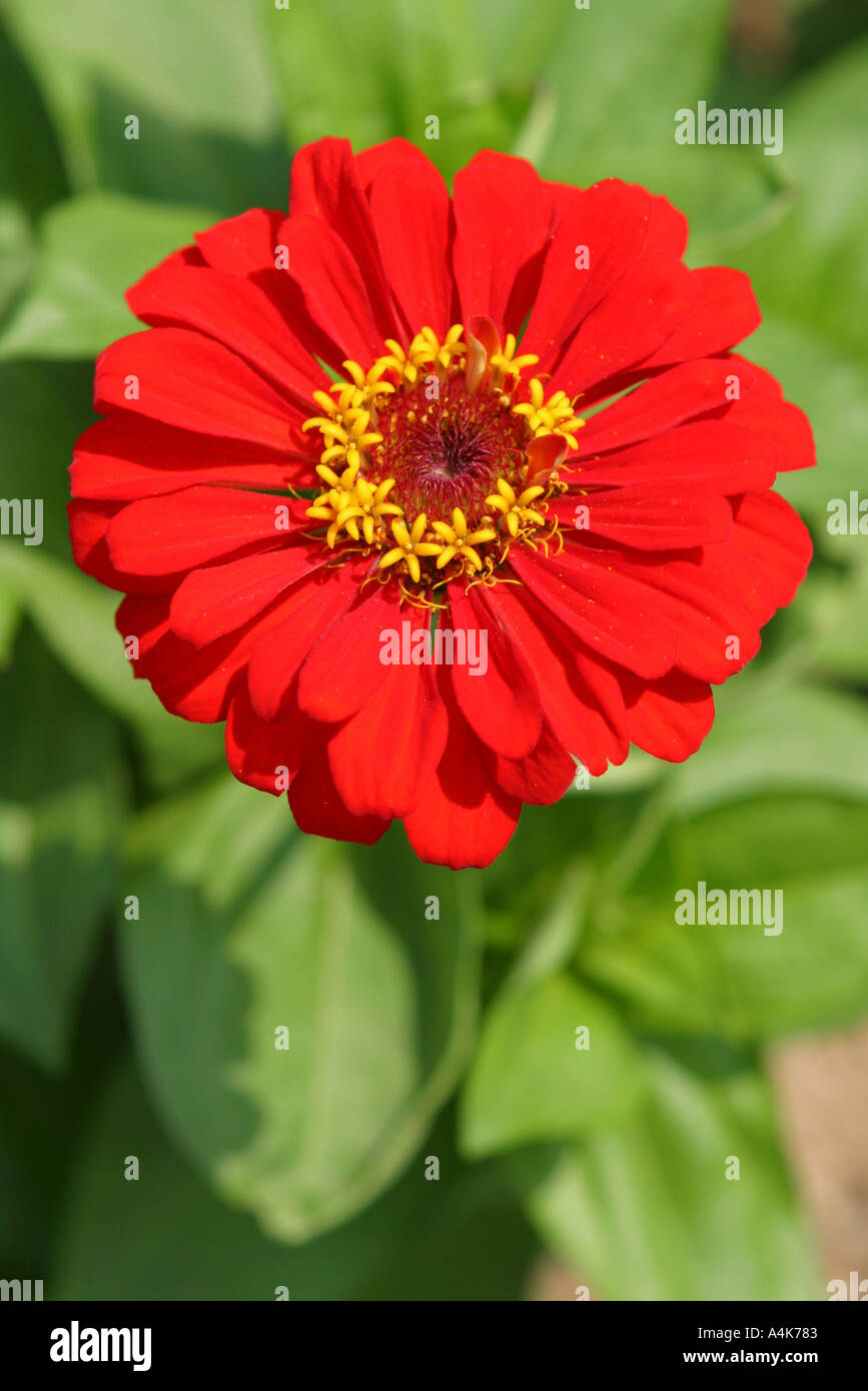 18b32068b57ad Bright red oriental asian Japanese gerbera daisy like flower growing in a  rural garden in Japan Asia