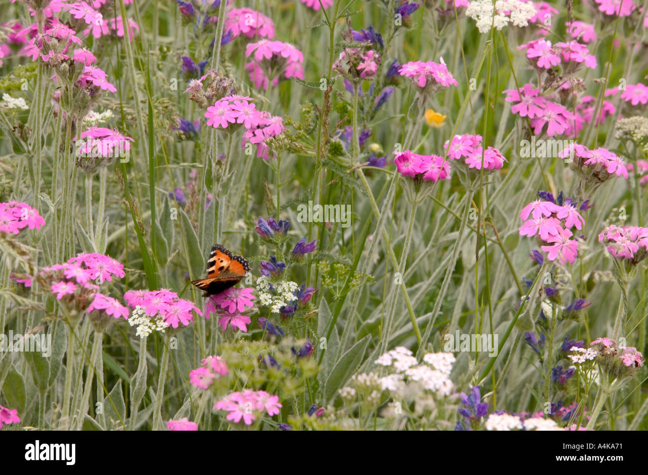 A Small Tortoiseshell butterlfy in a Swiss wildflower meadow - Stock Image