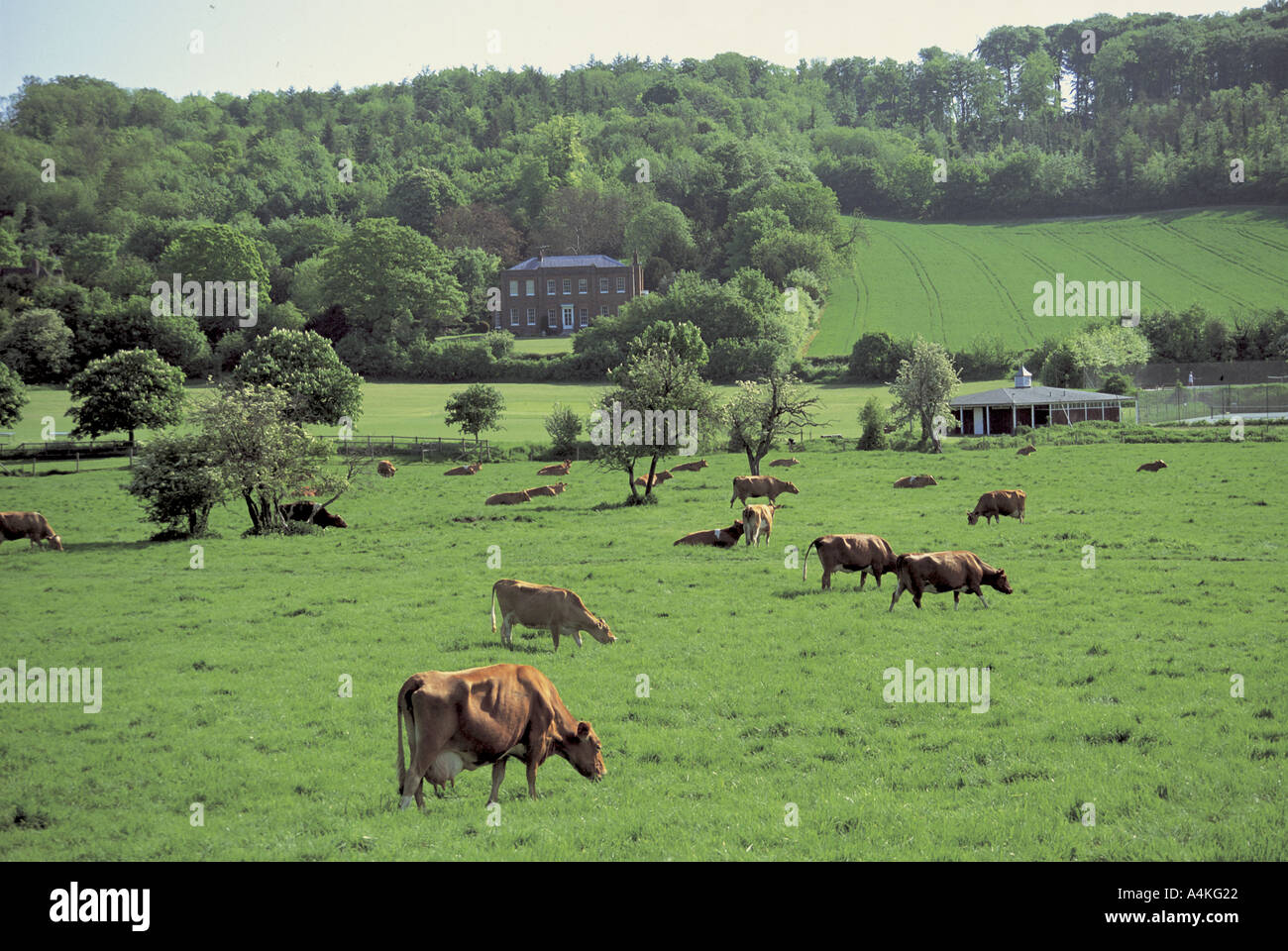 Guernsey cows in field at Hambleden - Stock Image