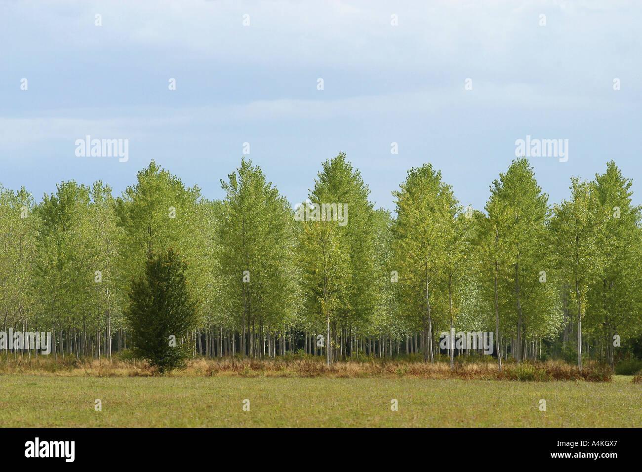 Poplar trees - Stock Image