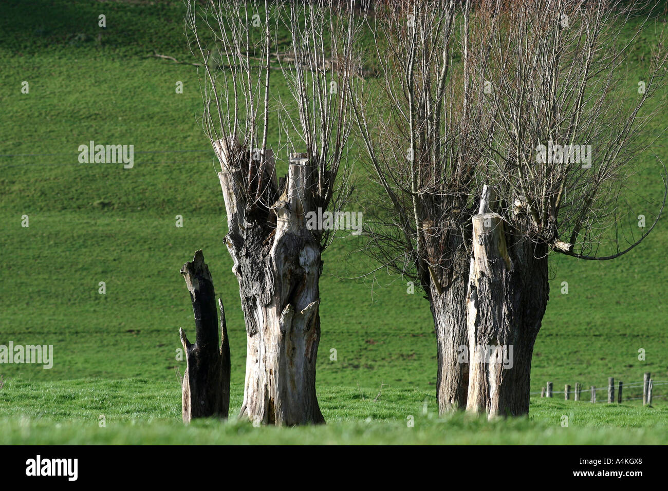 Bare willow trees - Stock Image