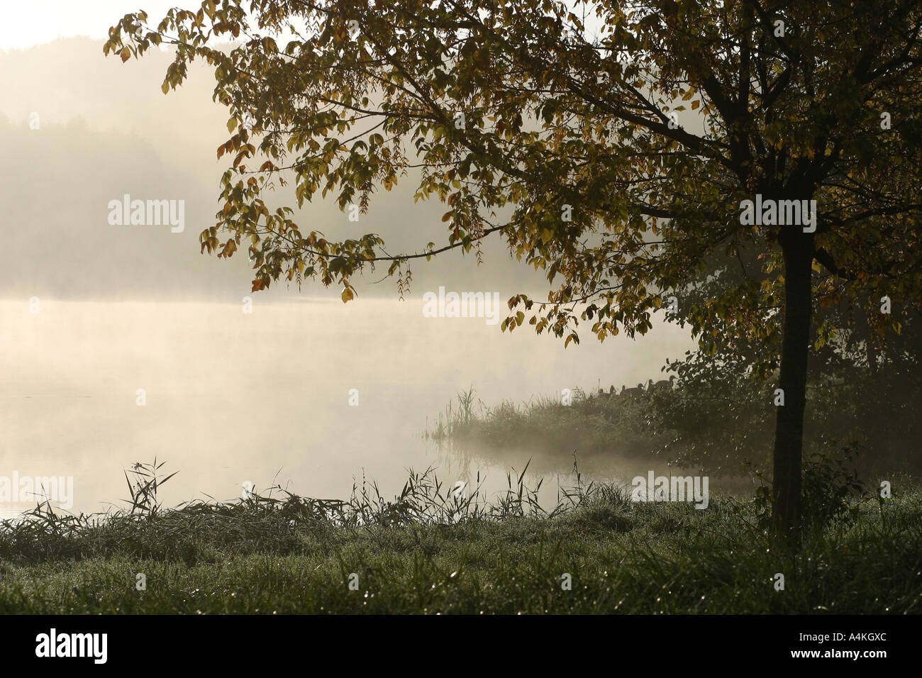 Tree at edge of misty pond - Stock Image