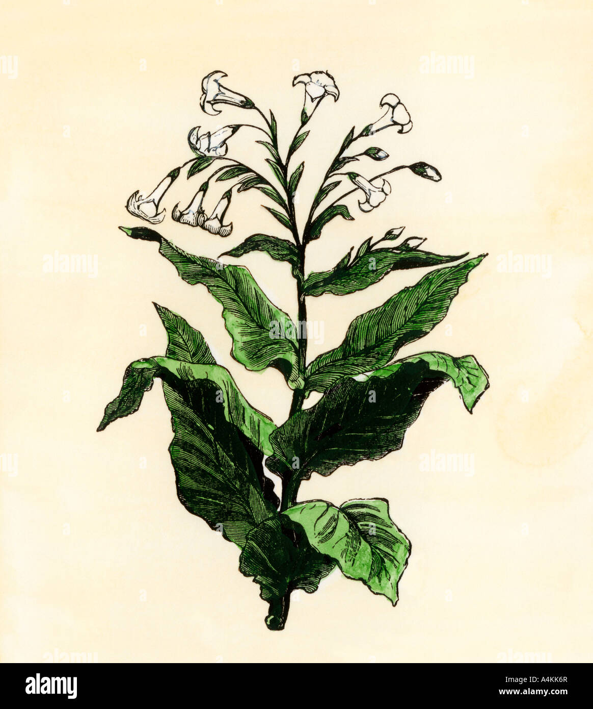 Tobacco plant. Hand-colored woodcut - Stock Image