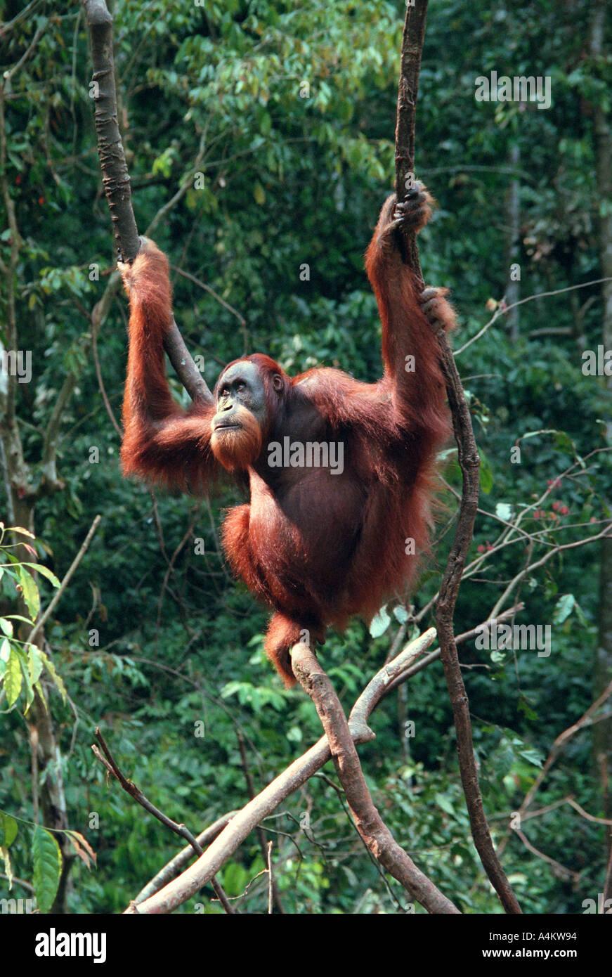 SUMATRAN ORANGUTAN Pongo abelii Previously Pongo pygmaeus abelii Gunung Leuser National Park Northern Sumatra Indonesia Stock Photo