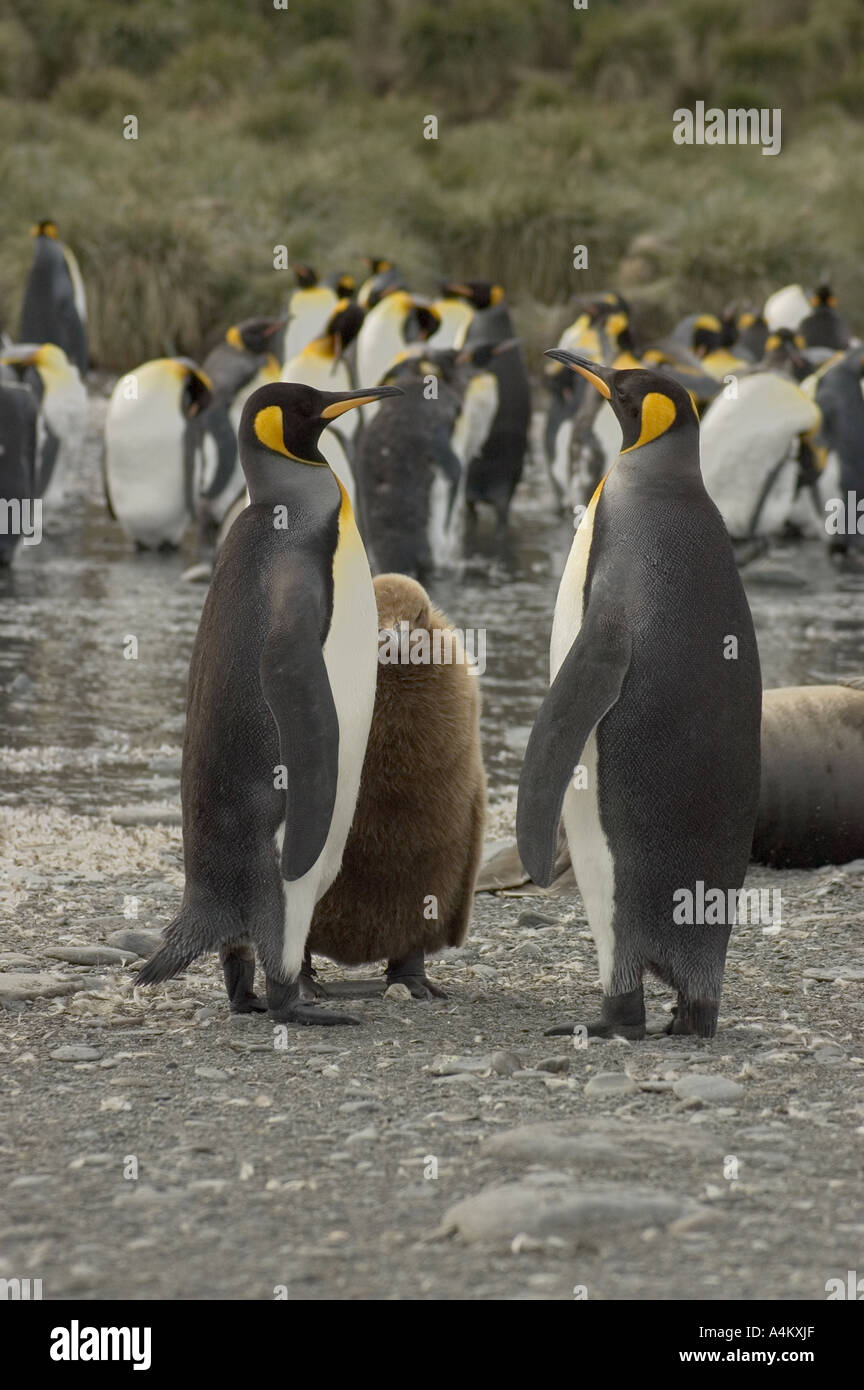 King Penguins at Gold Harbour South Georgia - Stock Image