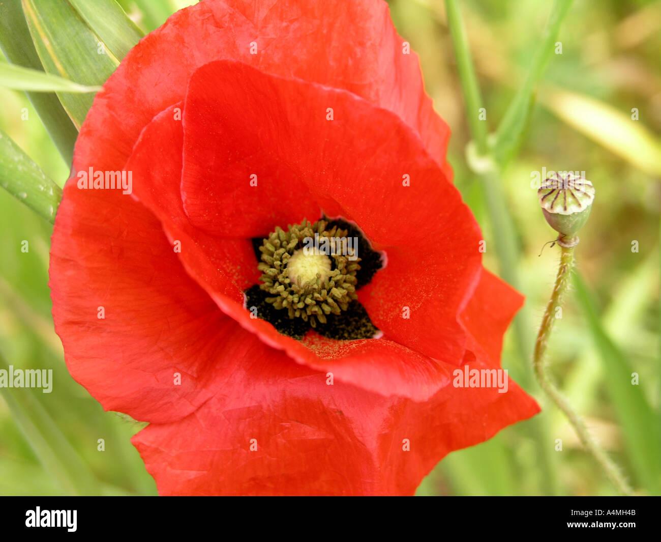Poppy Latin Name Stock Photos Poppy Latin Name Stock Images Alamy