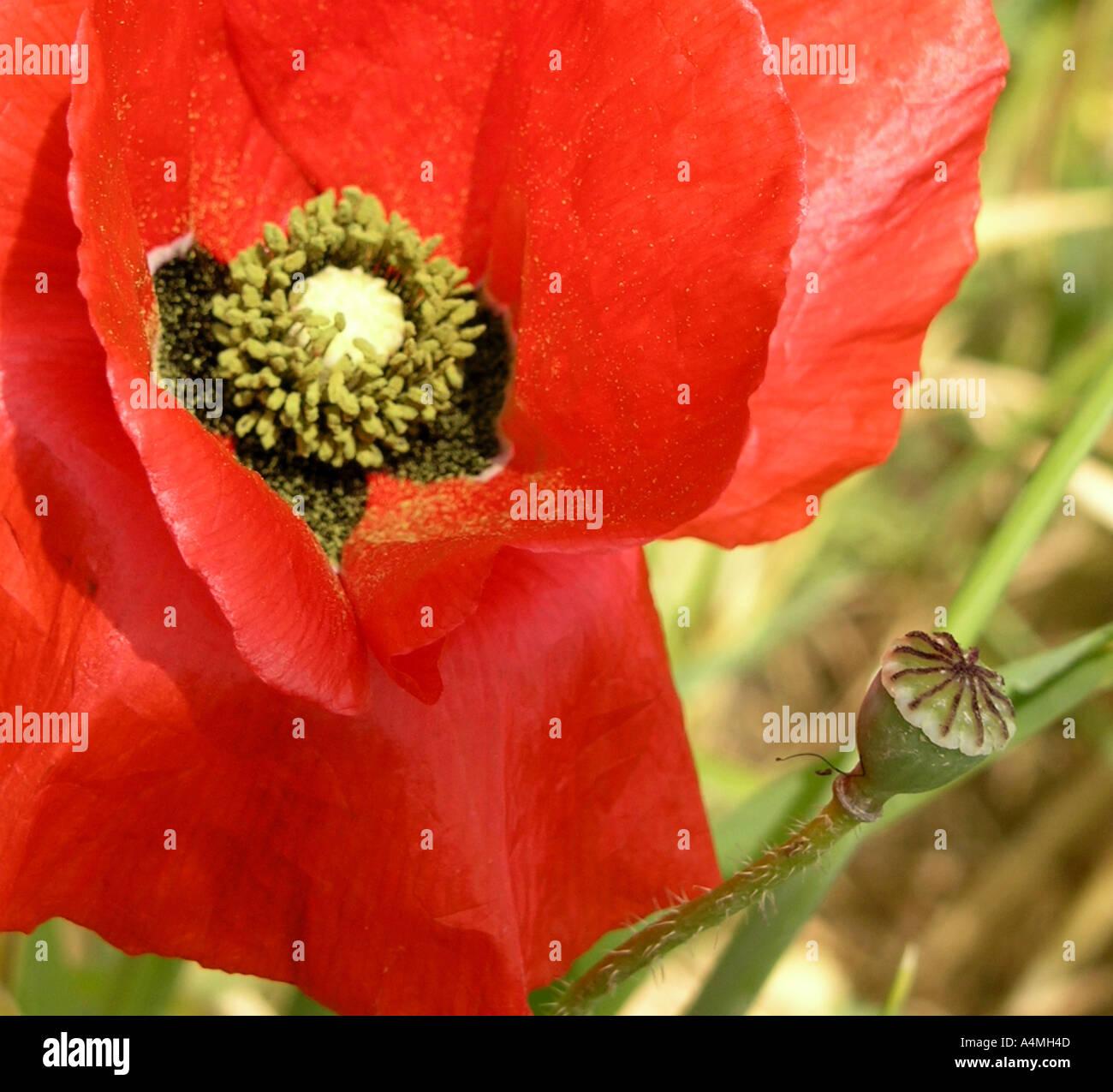 Red Common Wild Poppy Flower Latin Name Is Papaver Stock Photo