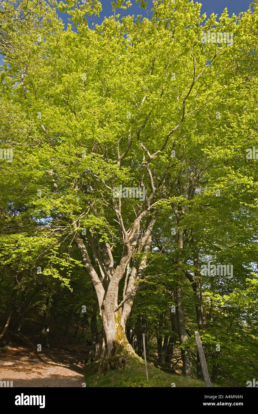 The beech foliage exuberance (Fagus sylvatica) in the Chaudefour Valley (France). Hêtres au feuillage printanier Stock Photo