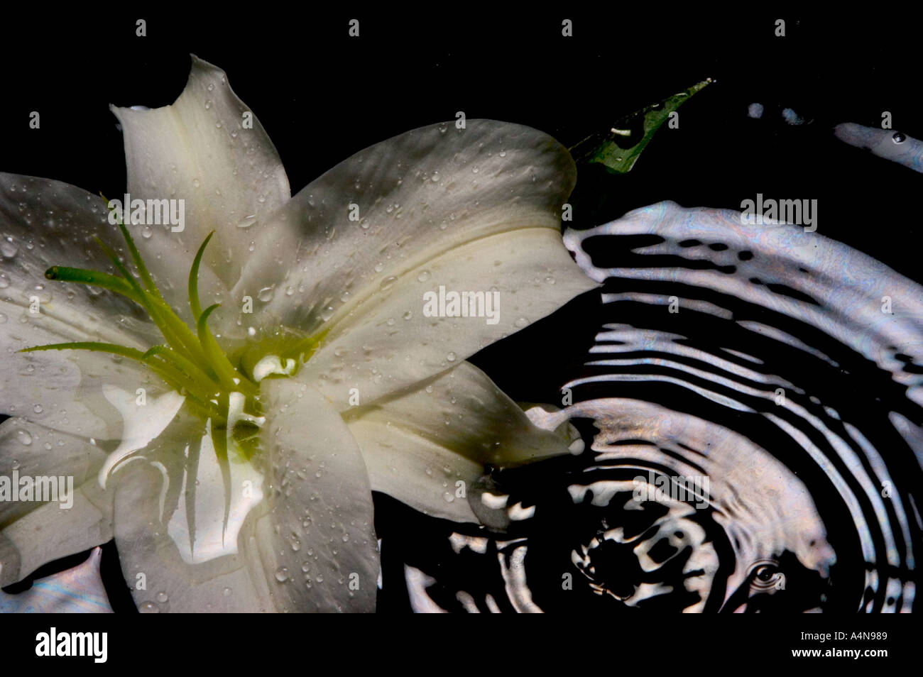 White Casa Lily In Water Pool Stock Photo 2054536 Alamy