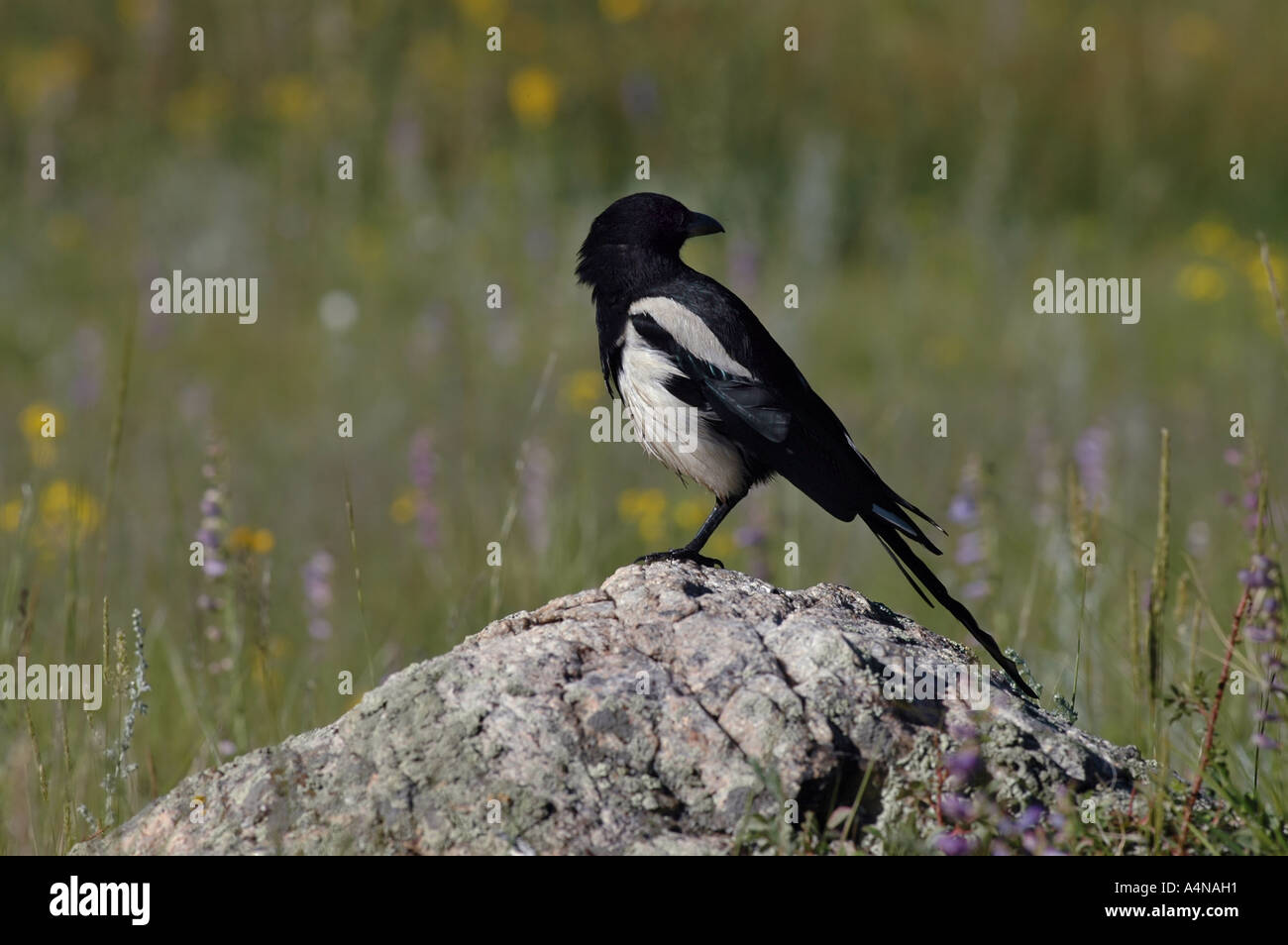 black billed magpie rocky mountain national park colorado songbird song bird colorful field medow flowers flower rock - Stock Image