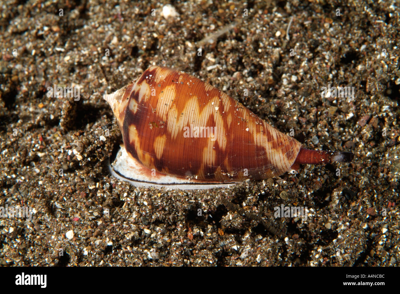 Cone Snail Stock Photos Amp Cone Snail Stock Images Alamy