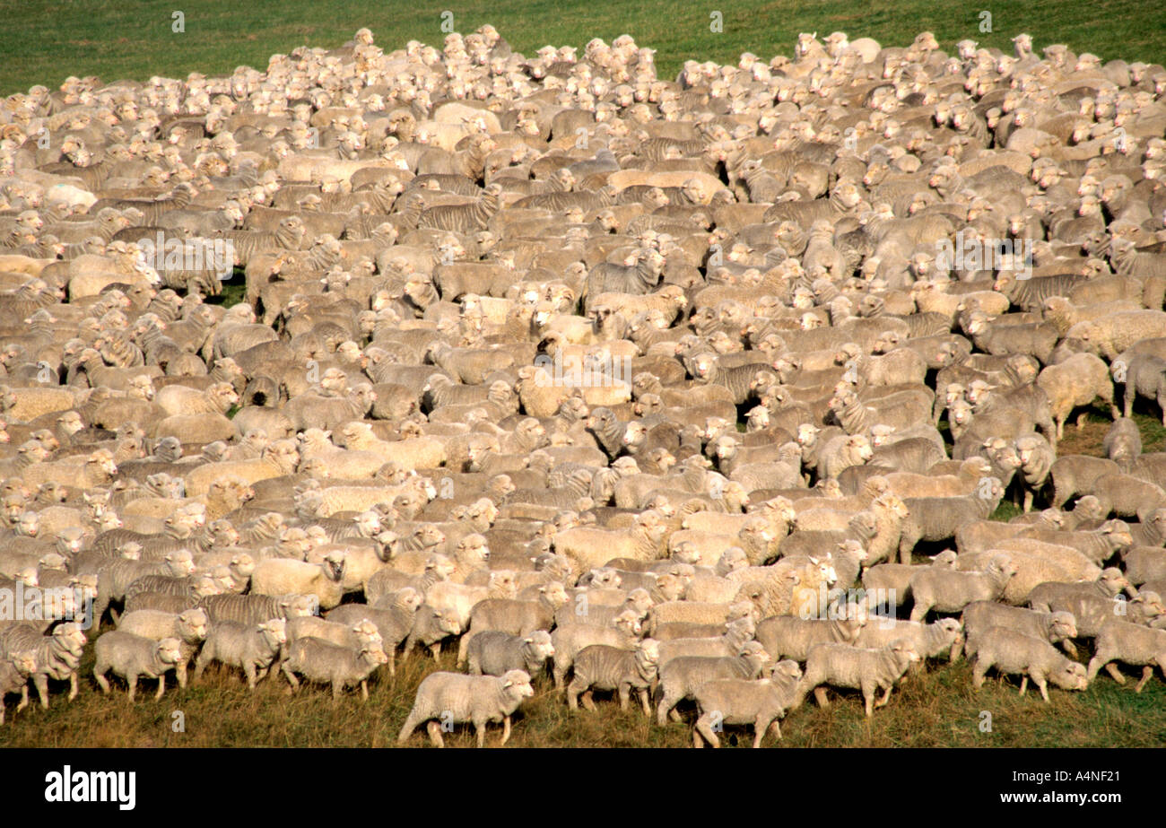 One of New Zealand s prime exports is their lamb and it is an important part of their economy - Stock Image
