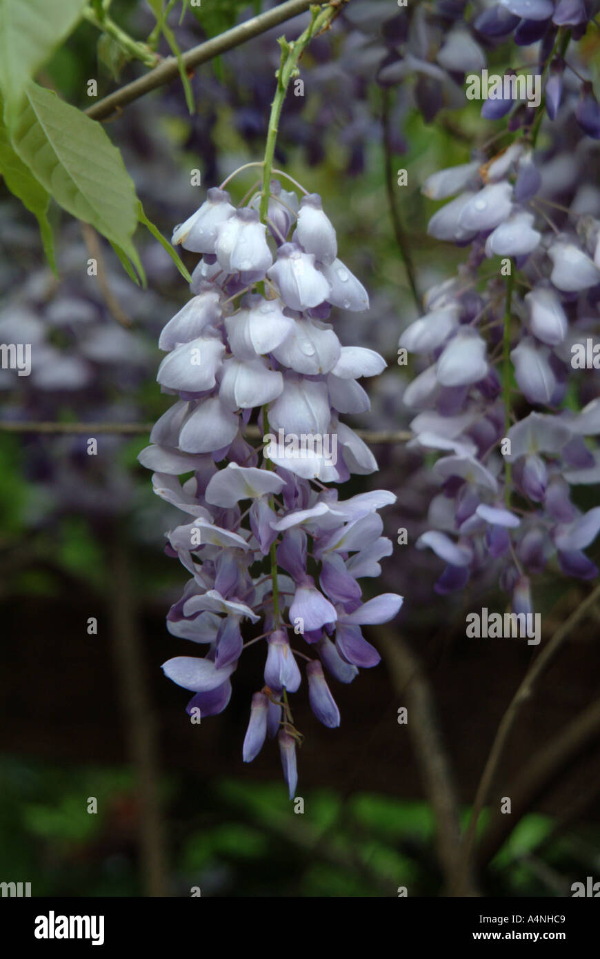 Blue violet flowers of the chinese wisteria plant bloom in sonoma blue violet flowers of the chinese wisteria plant bloom in sonoma county california pr m 101 izmirmasajfo
