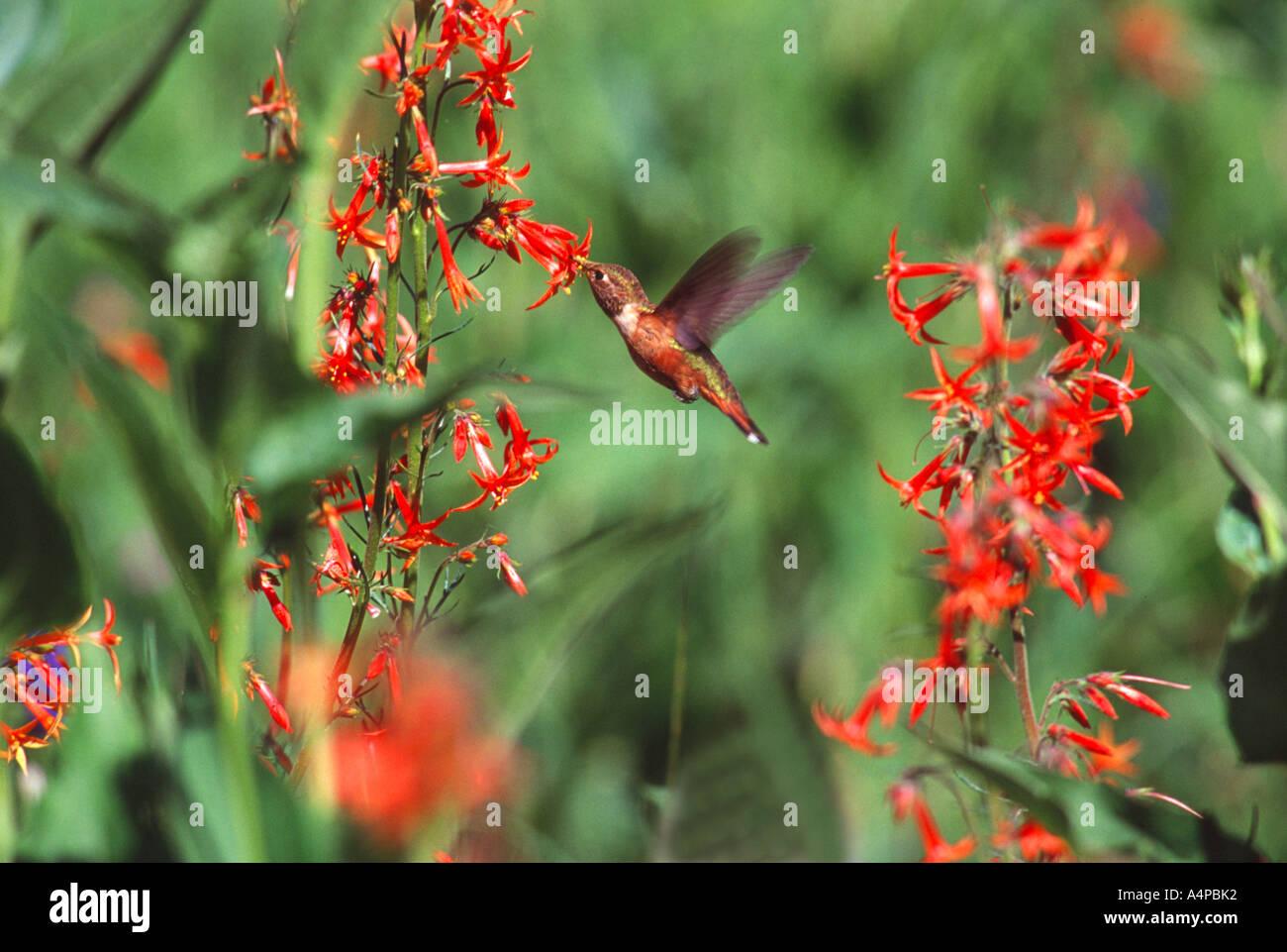 Stock Photo Rufous Hummingbird taking nectar from Skyrocket Gilia Blair Meadows Willamette National forest Oregon - Stock Image