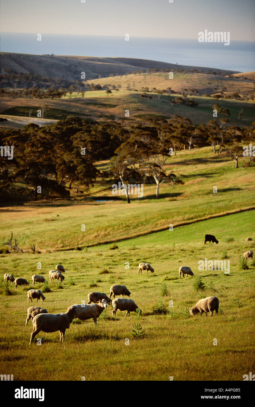 Sheep on pastureland near Cape Jervis Fleurieu Peninsula South Australia Australia Pacific - Stock Image