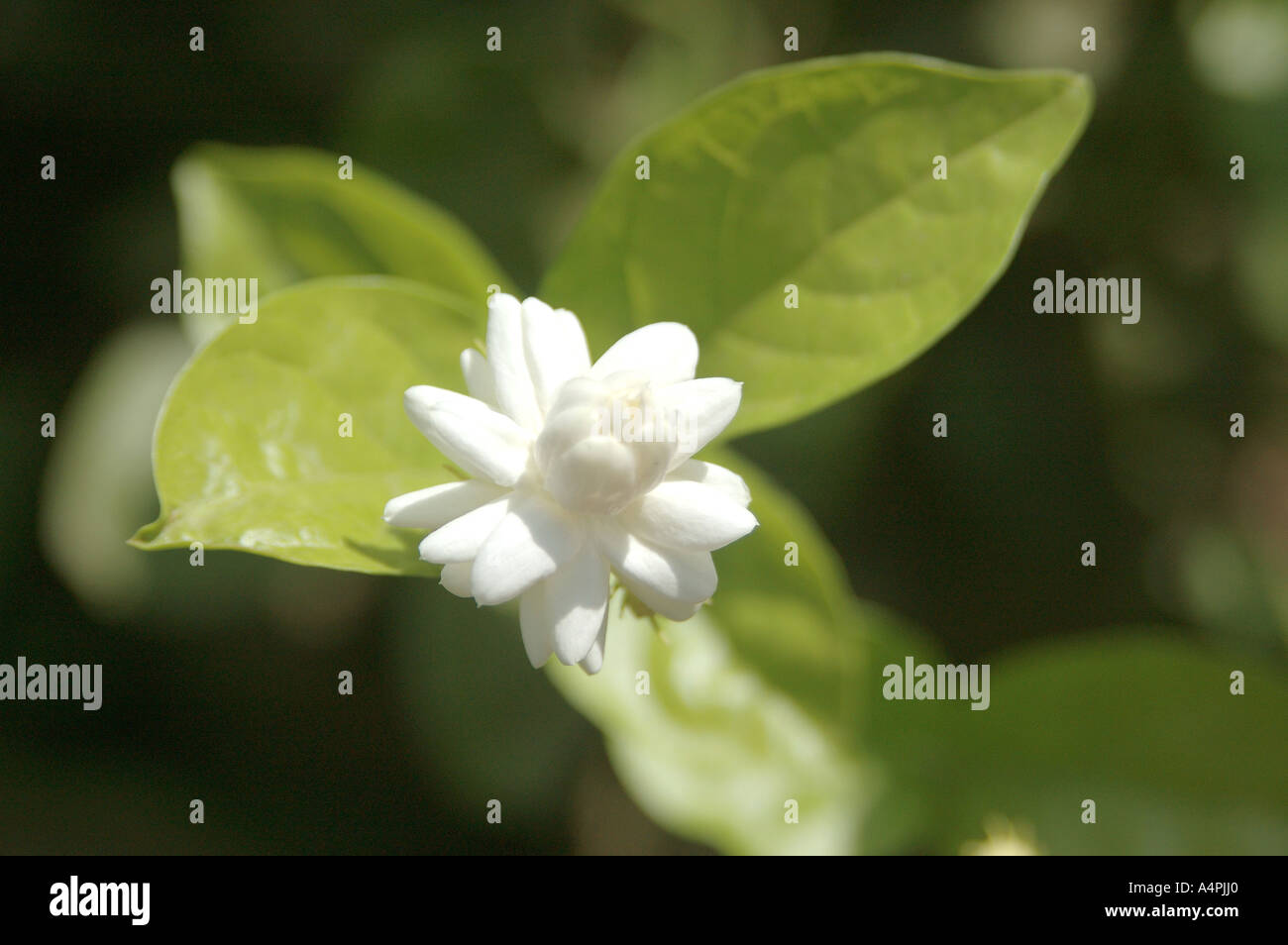 Flower Motia Mogra Jasmine Stock Photos Flower Motia Mogra Jasmine