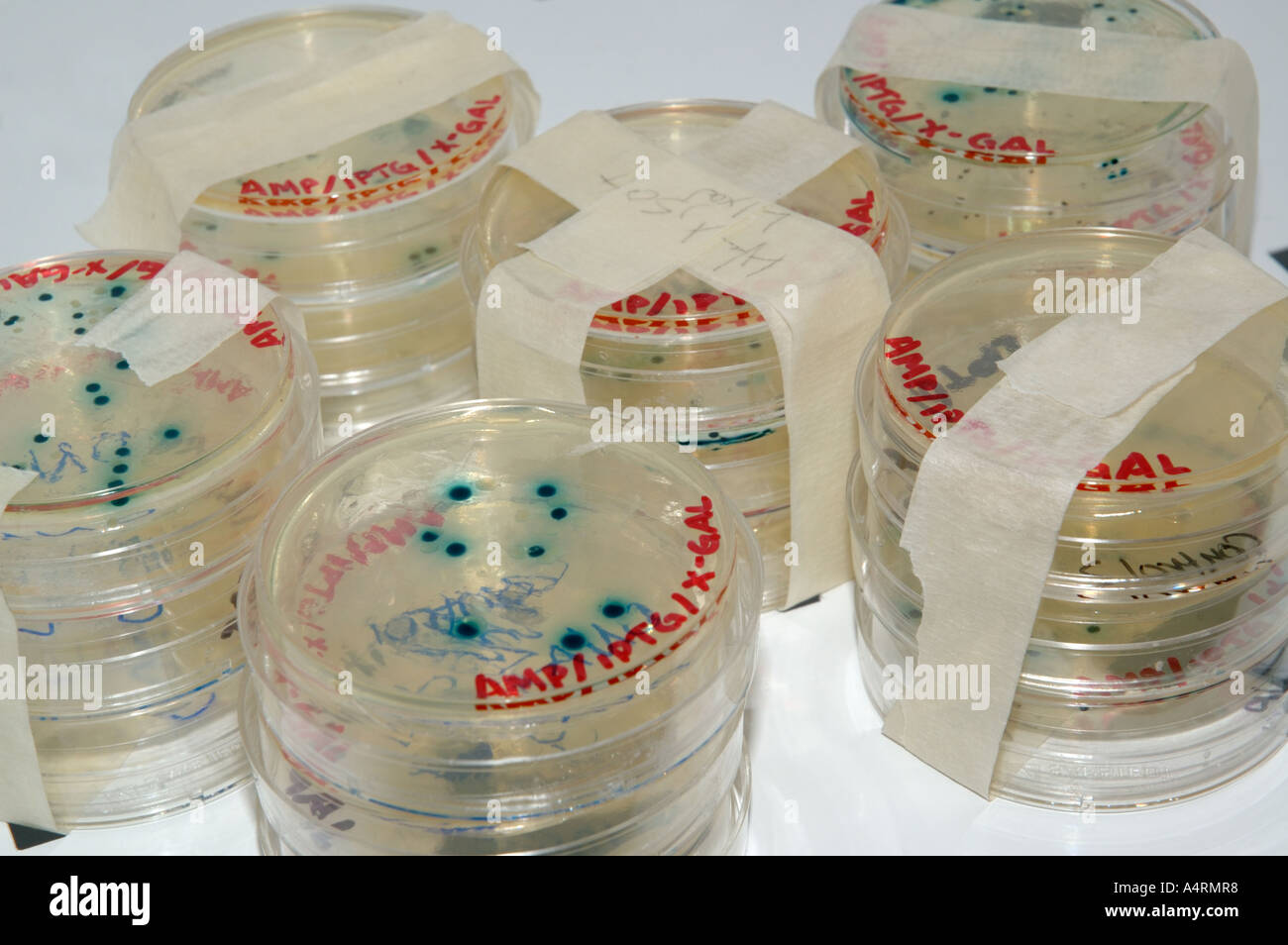 Bacteria culture plates petri dishes with blue transformation colonies in incubator - Stock Image
