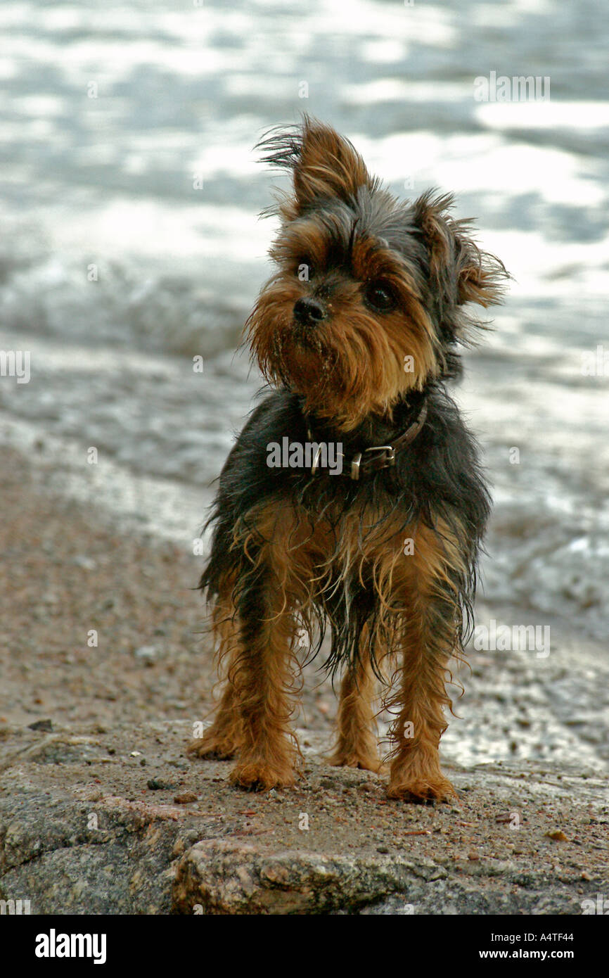 Dog at the beach - Stock Image