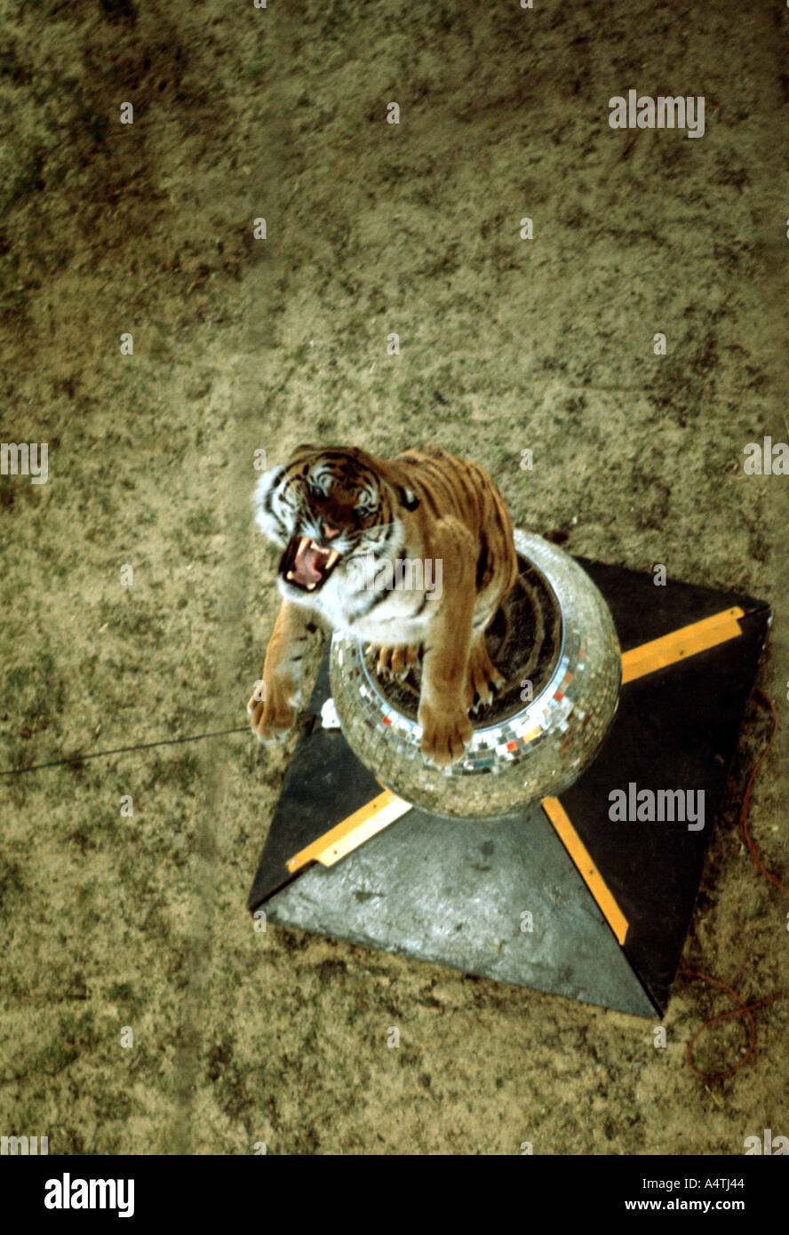 Snarling tiger in circus - Stock Image