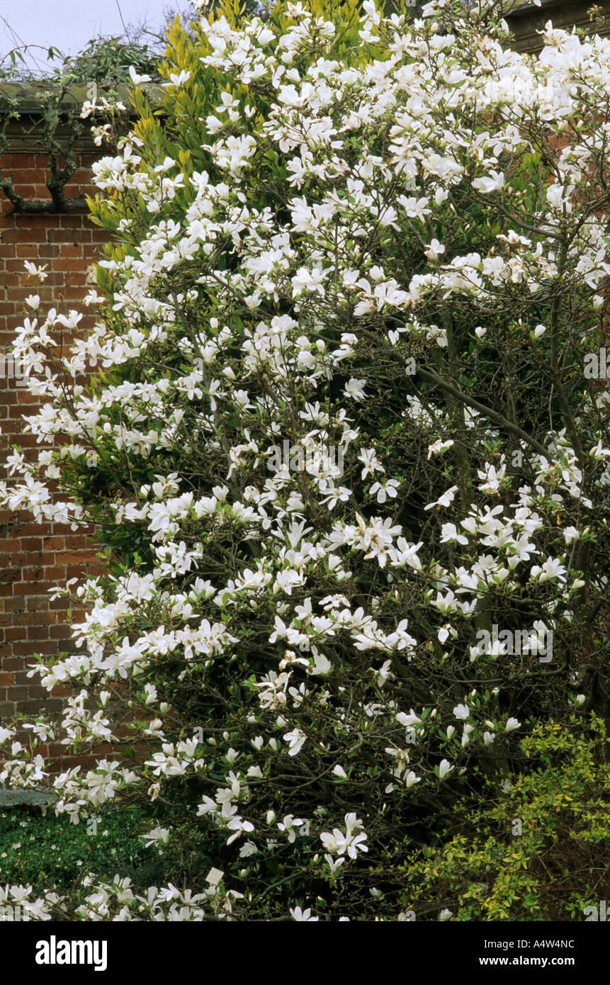 Magnolia X Loebneri Merrill Tree White Fragrant Flowers Garden