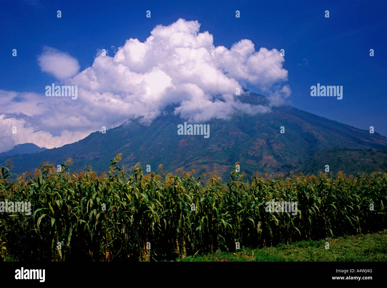 Corn crop in the town of Santiago Atitlan with San Pedro Volcano in the background Solola Department Guatemala - Stock Image